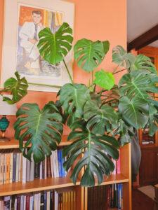 Ashinyday-φυτά-εσωτερικού-χώρου-μονστερα