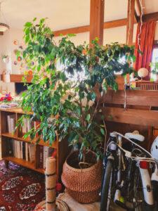 Ashinyday-φυτά-εσωτερικού-χώρου-φικος-μπεντζαμιν